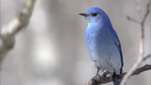 Mountain bluebird (Sialia currucoides), Yellowstone, USA
