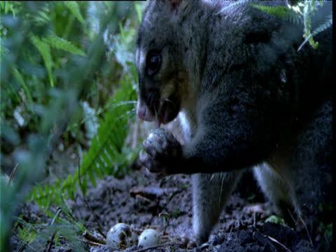 Mountain brush tailed possum eats bird egg in forest, Australia