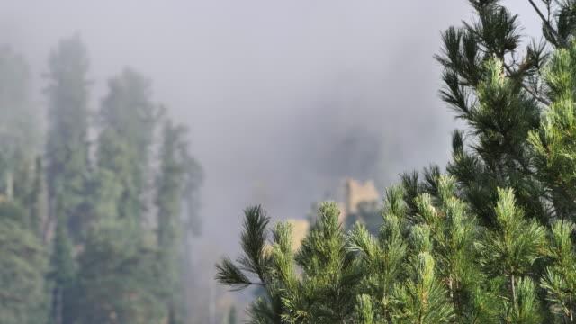 mountain cedar forest - altai nature reserve - cedar stock videos & royalty-free footage