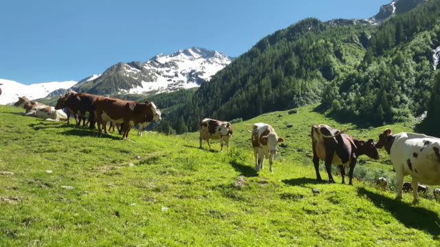 mountain cow european alps - austria video stock e b–roll