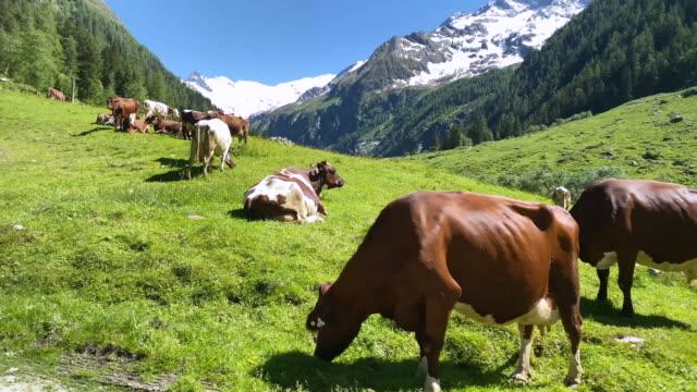 bergkuh europäische alpen - pasture stock-videos und b-roll-filmmaterial