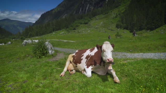 mountain cows at pasture - hoofed mammal stock videos & royalty-free footage