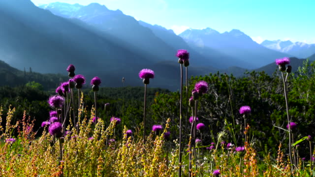 mountain flowers in swiss alps - idyllic stock videos & royalty-free footage