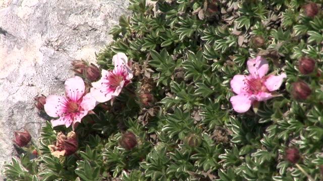 vídeos de stock e filmes b-roll de hd: flores da montanha - estame