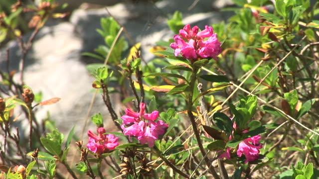 HD: Mountain Blumen