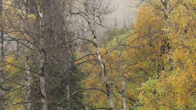 mountain forest - altai nature reserve - pinaceae stock videos & royalty-free footage