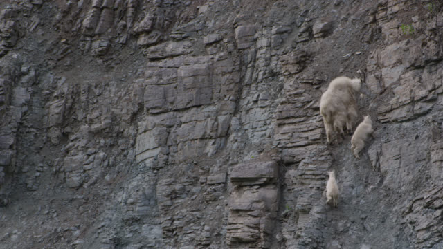 mountain goat (oreamnos americanus) and kids clamber up rocky cliff face, glacier national park, usa - 野生動物点の映像素材/bロール