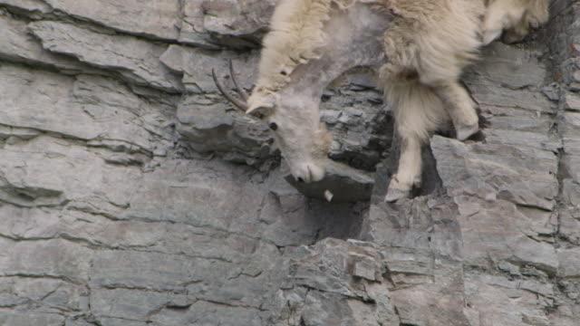 mountain goat (oreamnos americanus) clambers down rocky cliff face, glacier national park, usa - ヤギ点の映像素材/bロール