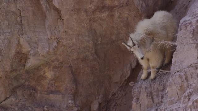 mountain goat (oreamnos americanus) clambers on rocky cliff face, glacier national park, usa - ヤギ点の映像素材/bロール