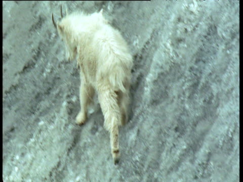 mountain goat clambers on steep scree slope, glacier national park, montana - glacier national park us stock videos and b-roll footage