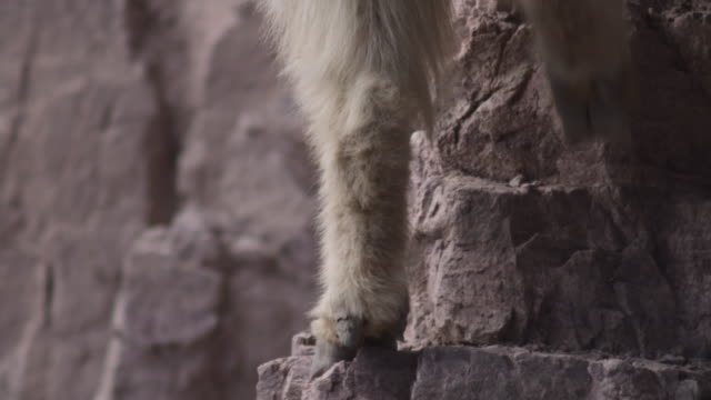 mountain goat (oreamnos americanus) clambers up rocky cliff face, glacier national park, usa - hoof stock videos & royalty-free footage