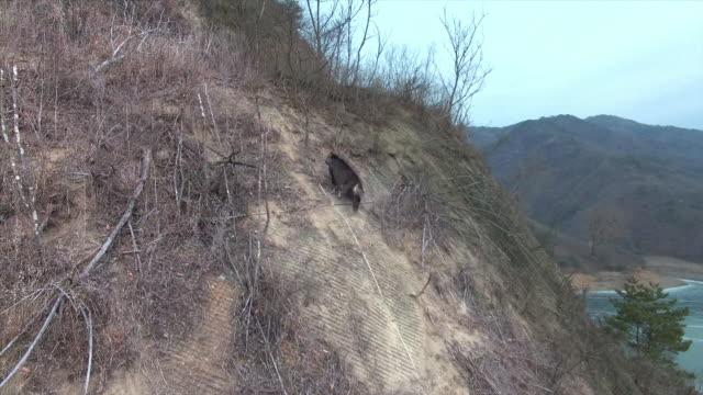 mountain goat climbing a cliff / dmz (demilitarized zone between south and north korea), goseong-gun - ヤギ点の映像素材/bロール