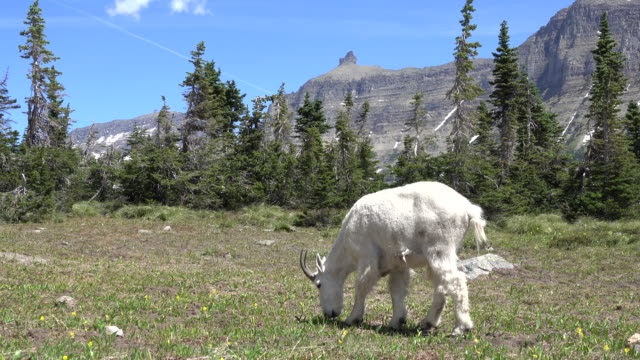 山ヤギをかすめる庭の壁草原モンタナ州グレイシャー国立公園 - アメリカグレイシャー国立公園点の映像素材/bロール