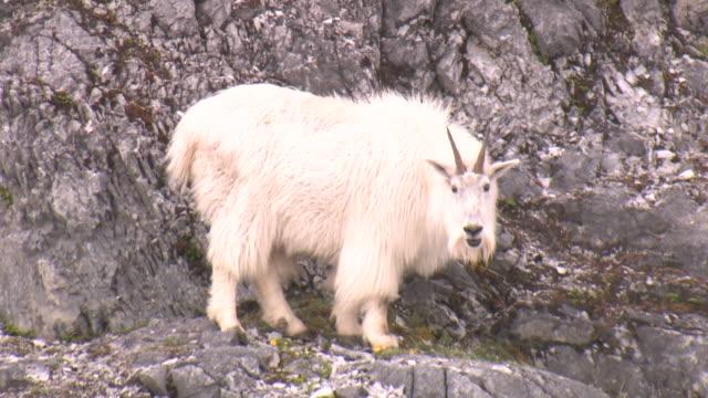 ms, mountain goat (oreamnos americanus) grazing on rocky hillside, glacier bay national park and preserve, alaska, usa - get bildbanksvideor och videomaterial från bakom kulisserna