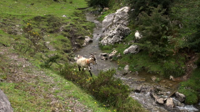 vidéos et rushes de mountain goat hopping and jumping to the other side - autre thème