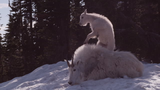 mountain goat (oreamnos americanus) kid clambers onto parent, glacier national park, usa - young animal video stock e b–roll