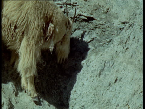 vidéos et rushes de mountain goat kid follows its mother and scratches its neck, montana - cou d'animal