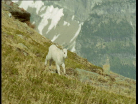 Mountain goat kid follows its mother on ridge, Montana