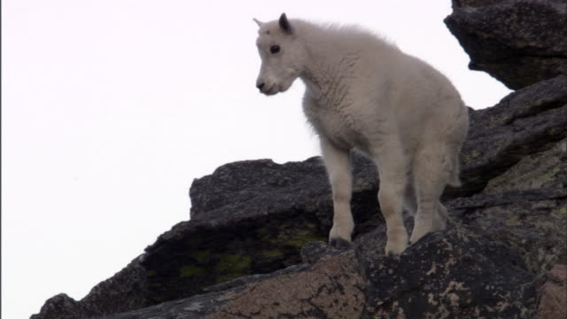 Mountain goat (Oreamnos americanus) kid on rocky outcrop, Yellowstone, USA
