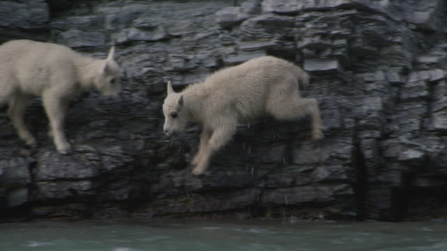 mountain goat (oreamnos americanus) kid slips from rock face, glacier national park, usa - goat stock videos and b-roll footage