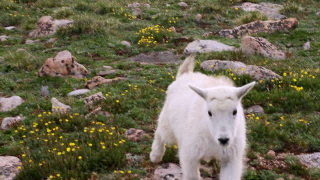 ms ts mountain goat kid walking amongst tundra wildflowers / idaho springs, colorado, united states - 動物の子供点の映像素材/bロール