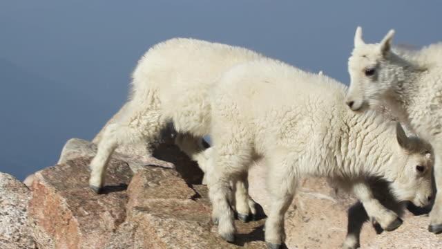 cu ts mountain goat kids jumping from rock to rock / idaho springs, colorado, united states - 動物の子供点の映像素材/bロール