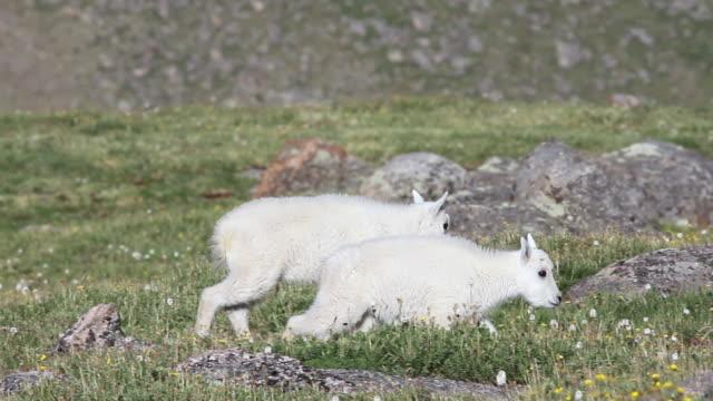 cu pan mountain goat kids walking on tundra / idaho springs, colorado, united states - 動物の子供点の映像素材/bロール