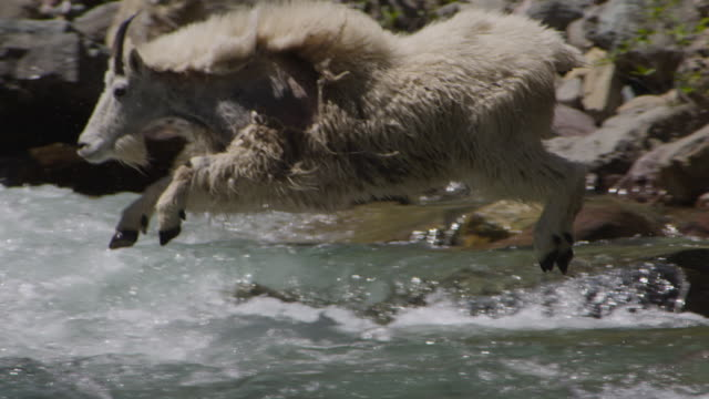mountain goat (oreamnos americanus) leaps into rocky stream, glacier national park, usa - goat stock videos and b-roll footage