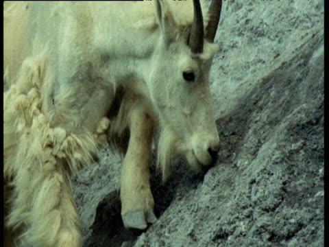 Mountain goat licks minerals and balances on precarious slope, Montana