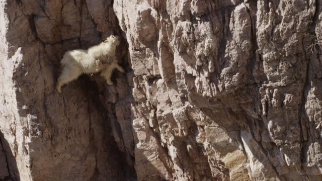 mountain goat (oreamnos americanus) licks minerals from cliff face, glacier national park, usa - ヤギ点の映像素材/bロール