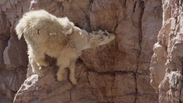 mountain goat (oreamnos americanus) licks minerals from cliff face, glacier national park, usa - goat stock videos and b-roll footage