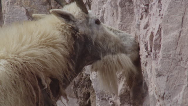 mountain goat (oreamnos americanus) licks minerals from cliff face, glacier national park, usa - goat stock videos & royalty-free footage