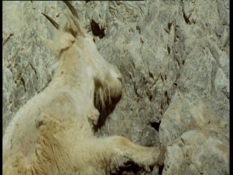 Mountain goat licks minerals or salt from rock face, Glacier National Park, Montana