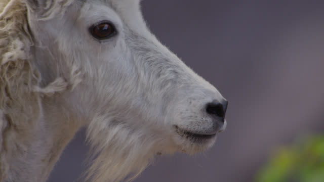 mountain goat (oreamnos americanus) looks around, glacier national park, usa - goat stock videos and b-roll footage
