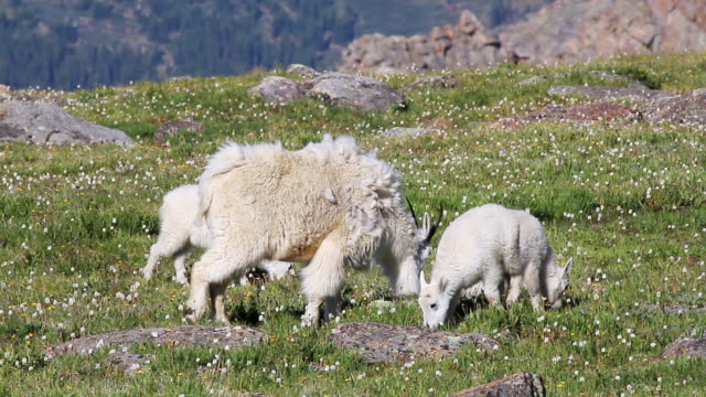MS Mountain goat nanny with kids grazing on tundra / Idaho Springs, Colorado, United States
