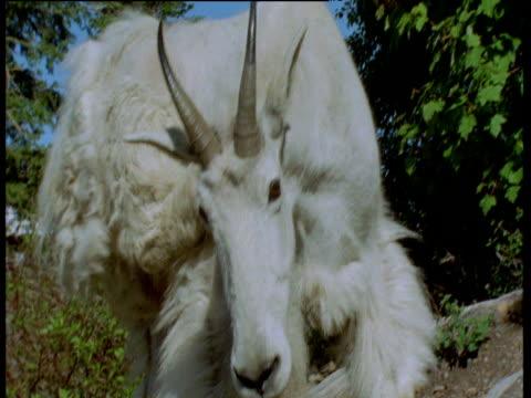 vídeos y material grabado en eventos de stock de mountain goat scratches its neck with hind hoof, then walks away, glacier national park, montana - cuello de animal