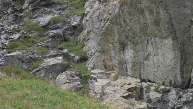 a mountain goat stops to look at the camera and skillfully climbs onto the rocks and cliff face behind him. the chamois skips long the rocky face with ease. - 崖点の映像素材/bロール