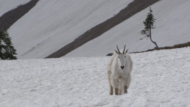 mountain goat (oreamnos americanus) trudges in snow, glacier national park, usa - glacier national park us stock videos and b-roll footage