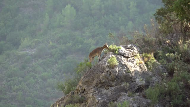 mountain goat - goat stock videos and b-roll footage