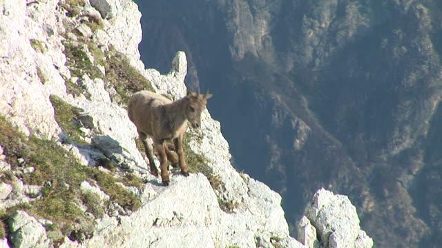HD: Mountain goat