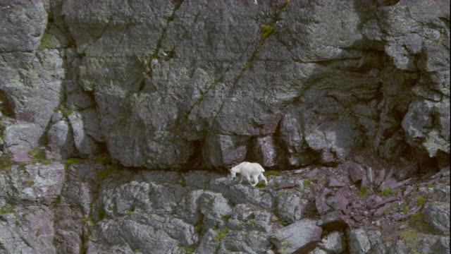 A mountain goat walks on a steep mountainside in Glacier National Park. Available in HD.