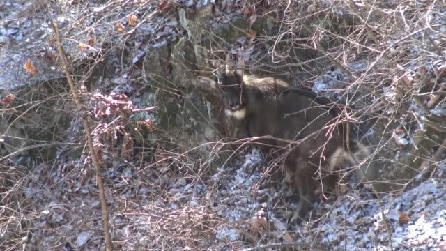 vídeos de stock, filmes e b-roll de a mountain goat warning against the camera at cliff / dmz, south korea - posição de combate