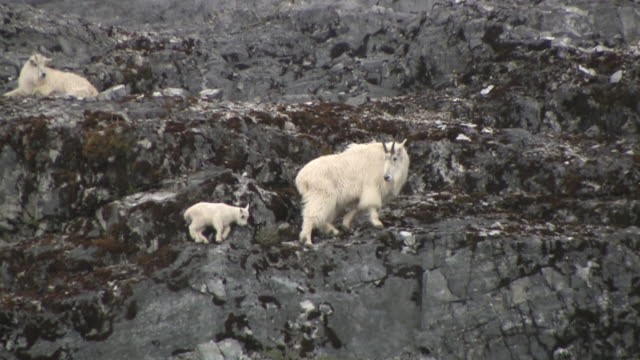 ws, pan, mountain goat (oreamnos americanus) with kid on rocky hillside, glacier bay national park and preserve, alaska, usa - drei tiere stock-videos und b-roll-filmmaterial