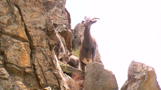 ws la zo mountain goats climbing on rocks / provo, utah, usa - ヤギ点の映像素材/bロール