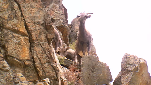 ws mountain goats climbing on rocks / provo, utah, usa - provo stock videos & royalty-free footage