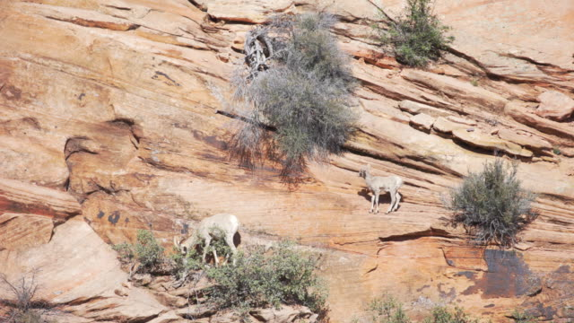 vídeos y material grabado en eventos de stock de mountain goats grazing on the side of sandstone cliff in zion national park utah - arenisca