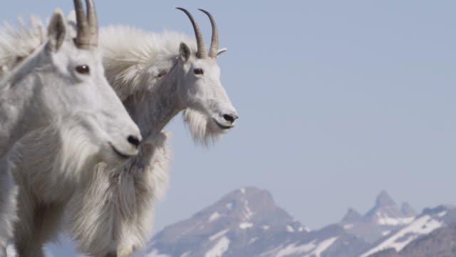 Mountain goats (Oreamnos americanus) in rocky mountains, Glacier National Park, USA