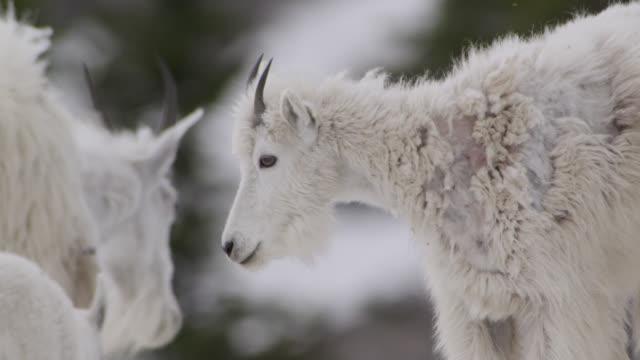 Mountain goats (Oreamnos americanus) in rocky mountains, Glacier National Park, USA