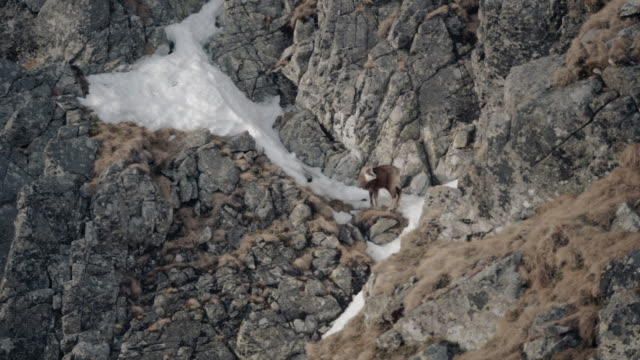 mountain goats scrambling on rocky cliffs - 40 seconds or greater stock videos & royalty-free footage