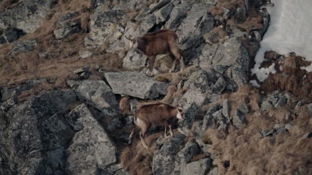 vídeos y material grabado en eventos de stock de cabras de montaña revoloteando en acantilados rocosos - small group of animals